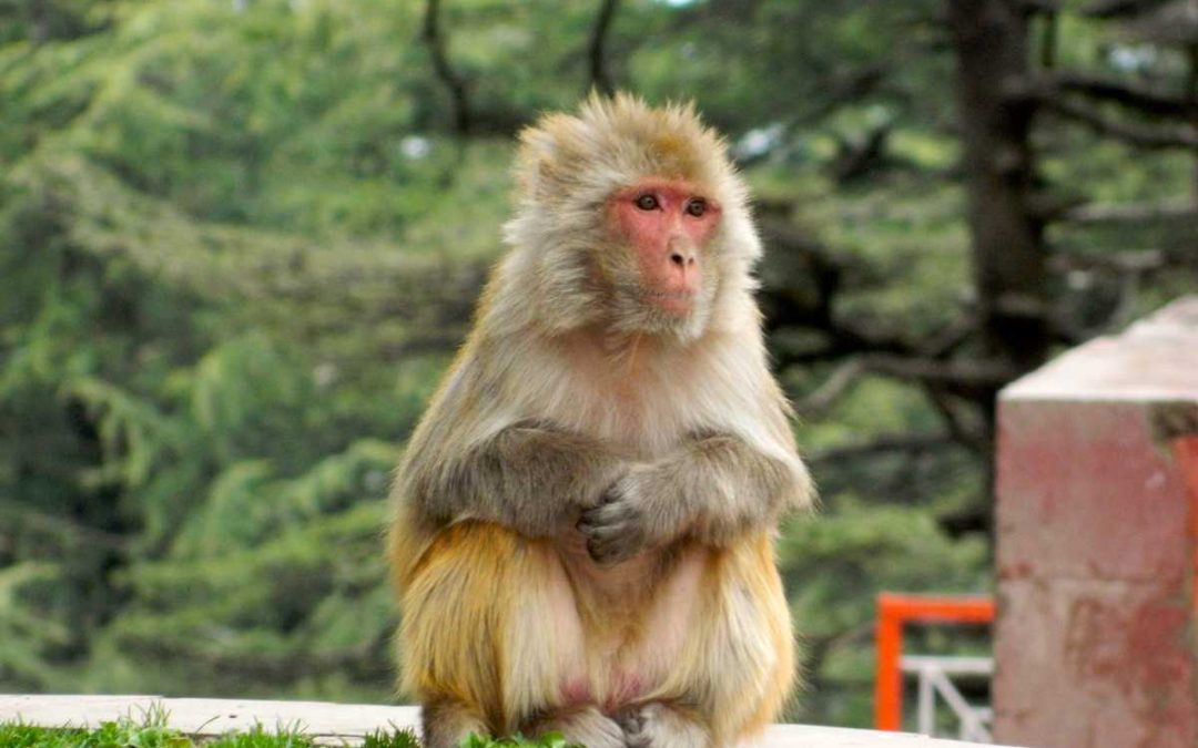 Shimla local sightseeing: Monkey business at Jakhu Temple Shimla