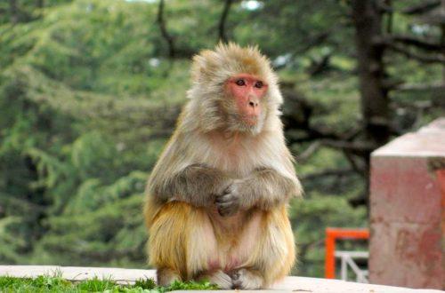 Shri Hanuman Mandir Jakhoo - Japanese macaque