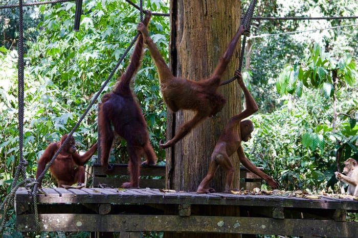 orangutans of borneo