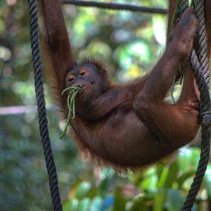 Sepilok - Primate