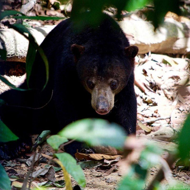 Men of the Forest: the primates of Borneo - orangutans of borneo