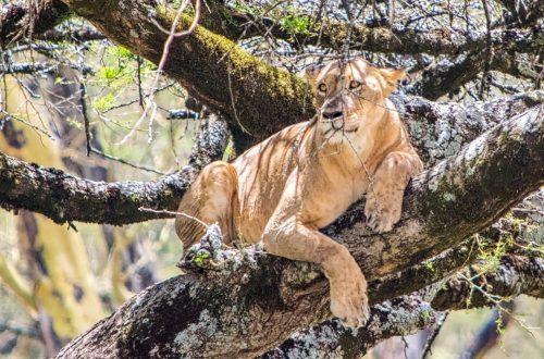 Lion - Tiger