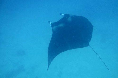 Manta rays - Djoudj National Bird Sanctuary