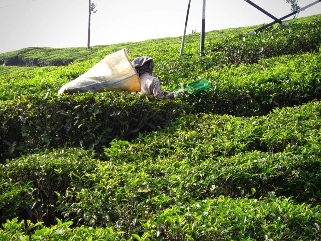 Visit Tamil Nadu: Picking tea in a plantation in the Western Ghats