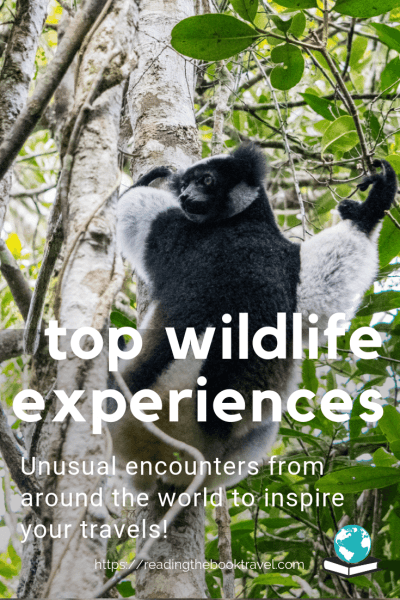 For me, one of the most rewarding things about travel is the opportunity to view and photograph wildlife I could never see at home. Check out some of the most memorable - and unusual - animal experiences I have had on my journeys around the globe! | Amazing wildlife experiences | Amazing wildlife experience | Best wildlife experiences | Indri | Spinner dolphin | Proboscis monkey | Icelandic horse | Komodo dragon | Coati | Wild ass |
